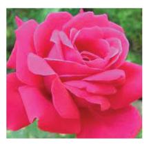 Rose Link
